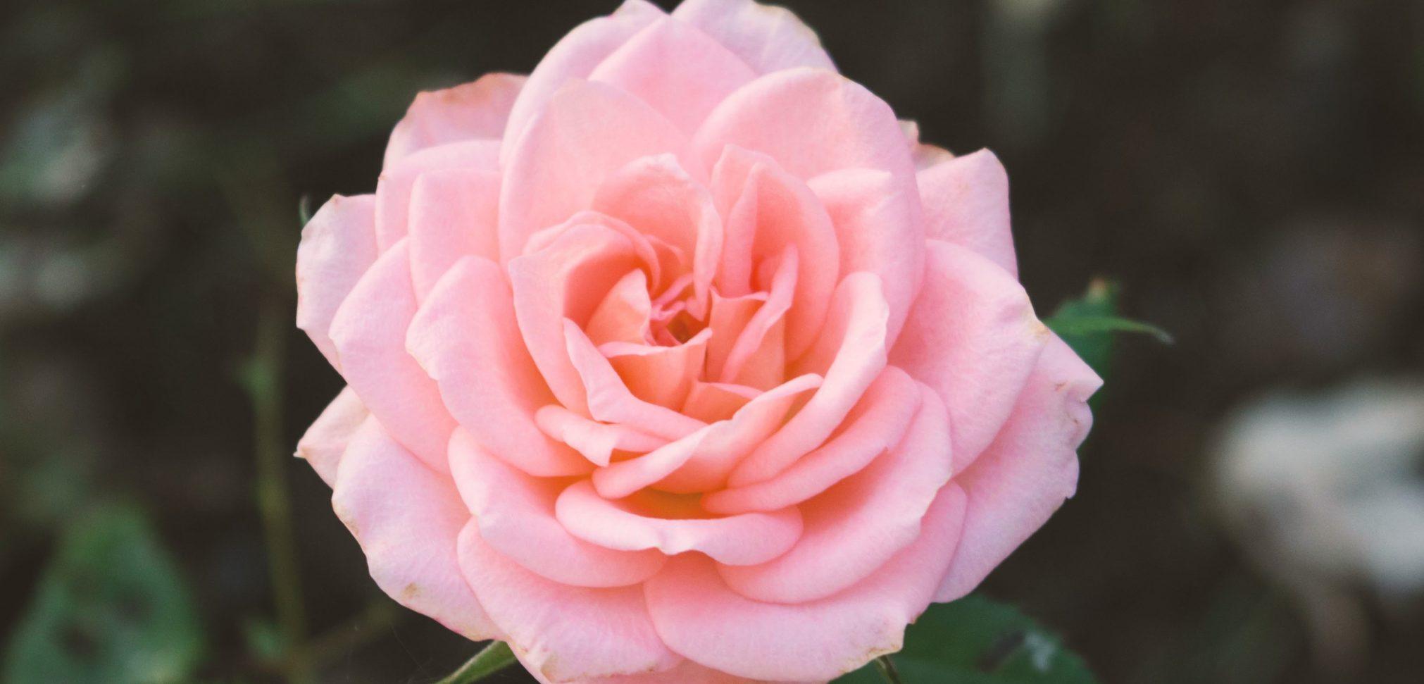 pink-rose-1209023-Copy