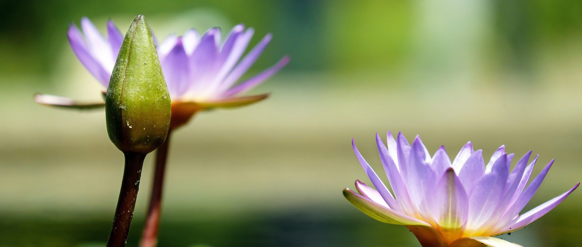 water-lily-1490078-Copy