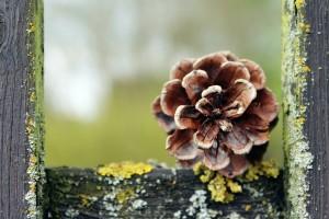 pine-cones-1328558