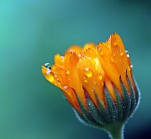 marigold-1568646-copy