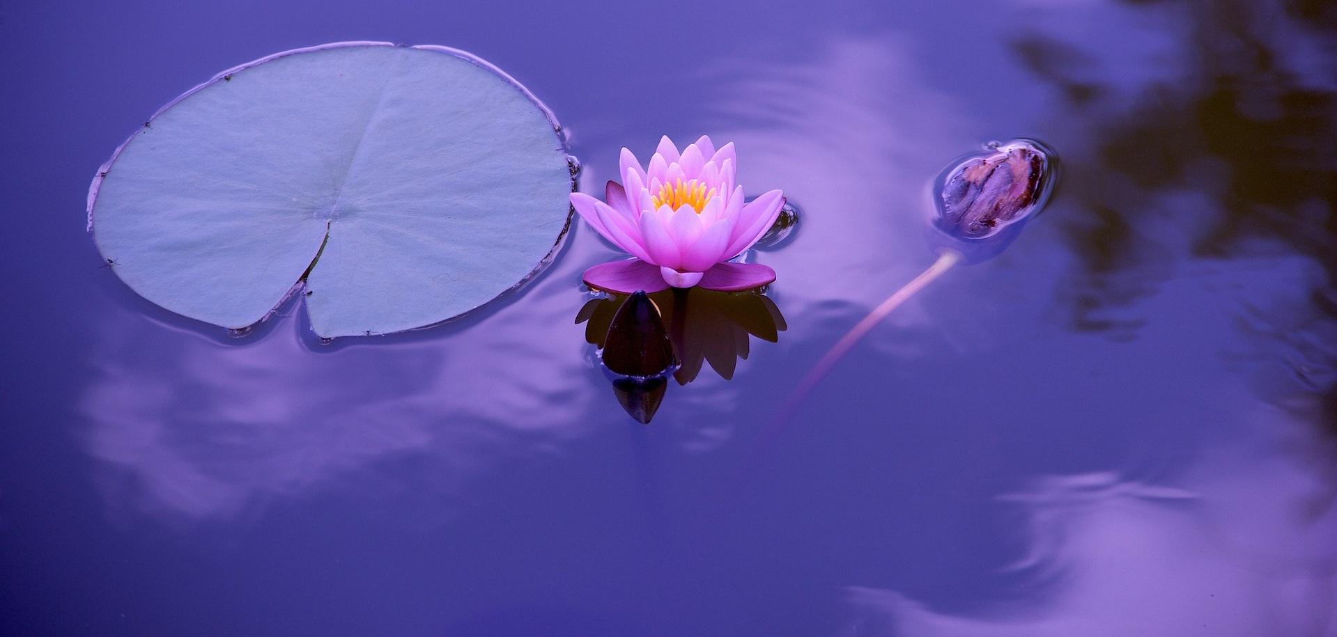 lotus-1205631_1920v2